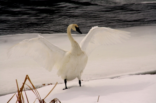 """Dancing Swan"" by Damien.  ""Hi my name is Damian and I am 14 years old.  I am from Marshfield Wisconsin.  I came to Northwest Passage for getting into trouble with the law.  Before coming here, I had never tried nature photography.  I never thought I would be able to take pictures that people would think are good.  I hope to keep taking pictures.   The Swan spread it's wings as if dancing like a snow white angel in hopes to impress a mate for the spring."